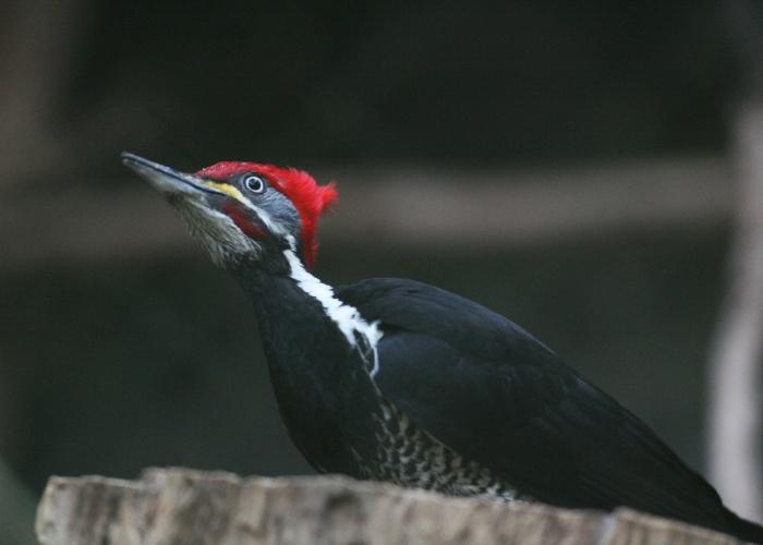 Imortalizado pelo desenho animado, o pica-pau é uma das aves mais conhecidas do planeta. Fácil de ser identificado pelo topete vermelho e hábito de bicar a madeira, o pássaro é um dos mais bonitos da alameda de aves - e um dos mais fotogênicos também.