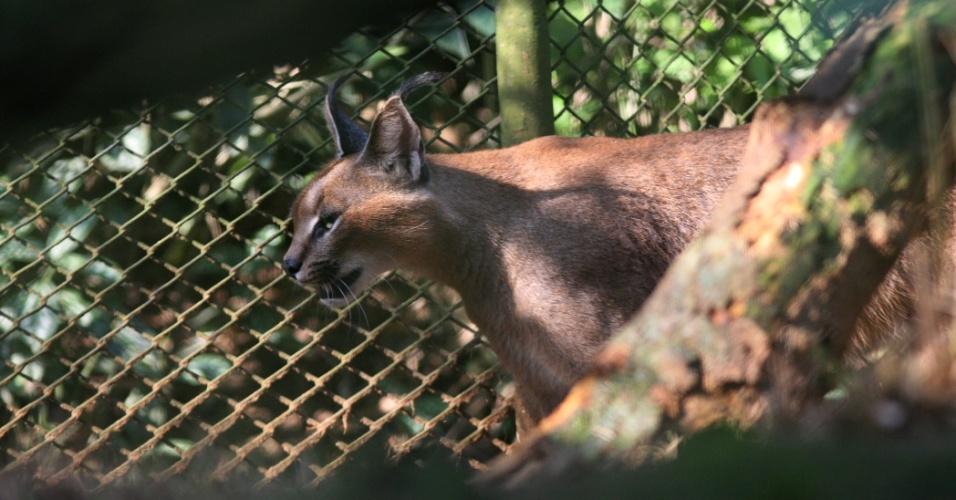Agitado, o lince do zoo de São Paulo não era um alvo fácil de se fotografar. O felino de porte médio andava de um lado ao outro de sua jaula, sem parar sequer um minuto para um descanso.