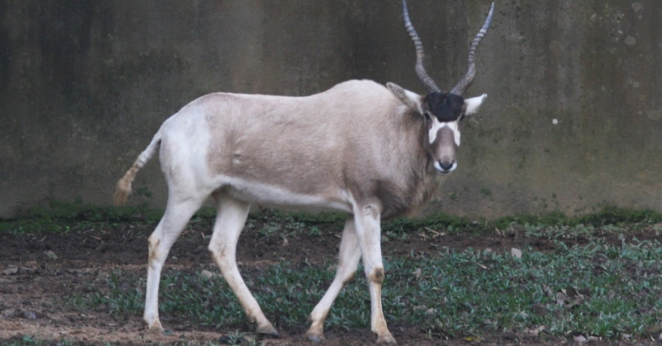 Ao lado das zebras, há várias espécies de antílopes originários das plainícies africanas.