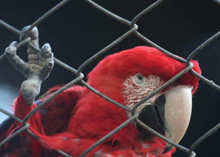 Arara-vermelha se aproxima da grade e parece 'fazer pose' para a foto.