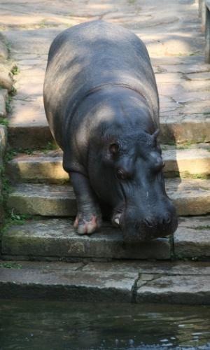 Gracioso e perigoso, o hipopótamo é um dos animais que mais matam na savana africana, apesar de aparentar ser um bicho 'calmo'. A espécie da foto é uma fêmea, que não restiu ao calor que fazia e foi se refrescar debaixo da água.