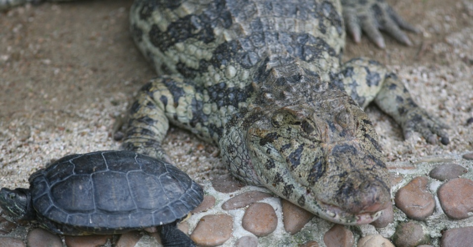 Jacarés e tartarugas convivem em harmonia nas jaulas do zoo de São Paulo.