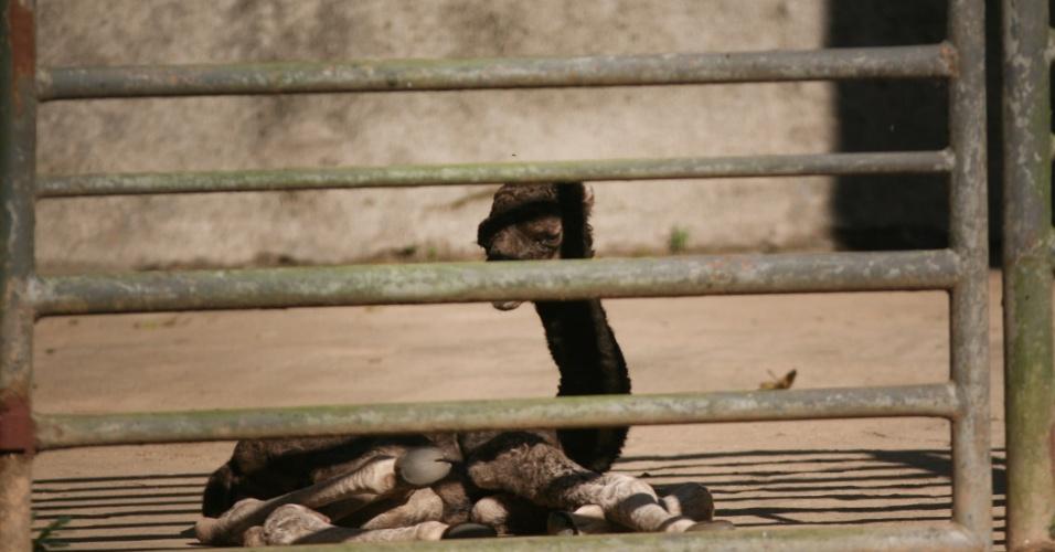 O filhote de dromedário 'Dirsinho' tem uma história curiosa. Após sentir dores durante a amamentação, sua mãe parou de alimentá-lo, desde então, ele vem sendo cuidado pelos tratadores do zoológico, em especial, Dirson, de quem ganhou o apelido carinhoso.