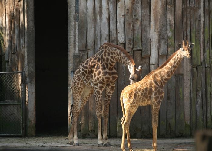O filhote de girafa Sáfira saiu de sua cabana para se exibir à reportagem. Ele posa ao lado da mãe, Mel. As girafas são originárias das planícies africanas e podem viver até 25 anos.