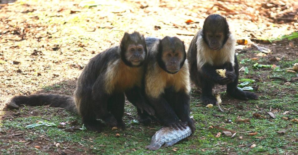 O macaco-prego-de-peito-amarelo estão entre os animais mais visitados do zoológico de São Paulo. Carismáticos e bagunceiros, os primatas são bastante curiosos e adoram se exibir para o público. Eles podem viver até 40 anos.