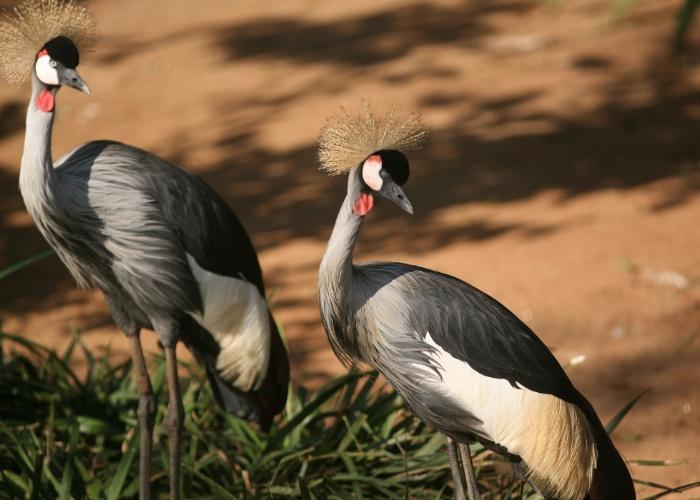 O majestoso grou-coroado está entre as mais belas aves do acervo do zoológico. Eles são originários do sul e sudeste da África.