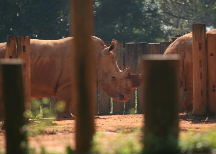 Os grandes rinocerontes brancos são originários do sudeste africano. Apesar do nome, a coloração do animal é acizentada (no caso da foto, amarrozada pelo contato do bicho com o solo). O chifre do rinoceronte é considerado sagrado e muito valioso, sendo o motivo da ampliação da caça ilegal que o colocou entre os animais em extinção.