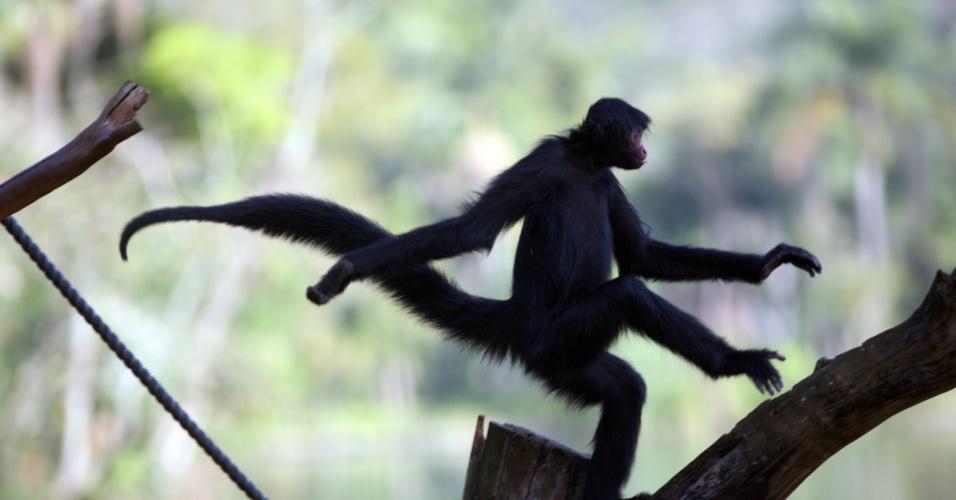Outros primatas que adoram interagir com o público, o macacos-aranha habitam uma ilha localizada no meio do lago do zoo. Eles adoram saltar de galho em galho e estão ameaçados de extinção.