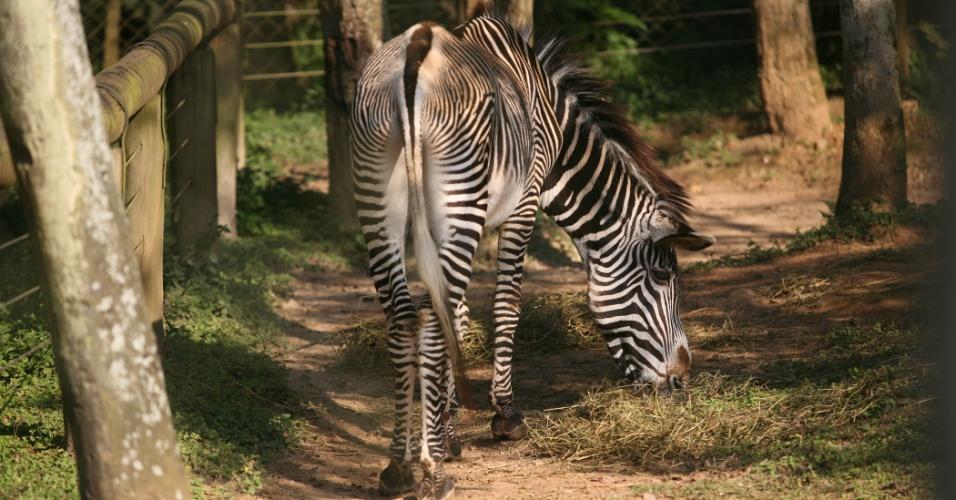 Um pouco mais arisco que as outras zebras do zoo, 'Zebrão' é um legítimo macho. A bióloga Ana Carolina explicou que ele prefere interagir com o público feminino e, euem gostou dessa interação foi a fotógrafa da matéria, que conseguiu poses exclusivas do 'garotão'.