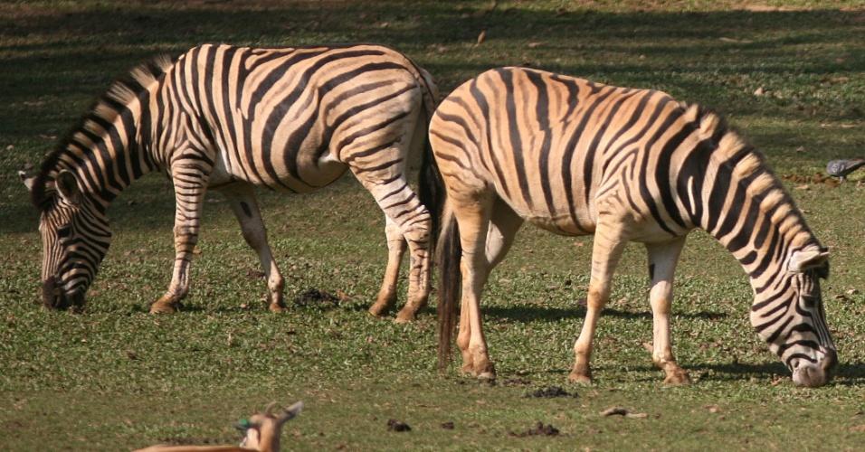 Zebras pastam no zoológico de São Paulo. O animal africano é famoso por seu corpo listrado. Cada indivíduo da espécie tem um desenho diferente de listra que os tornam únicos, assim como as digitais no ser humano.
