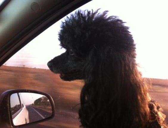 Este é o Ozzy voltando de uma viagem com seus donos Ingrid e Kadu
