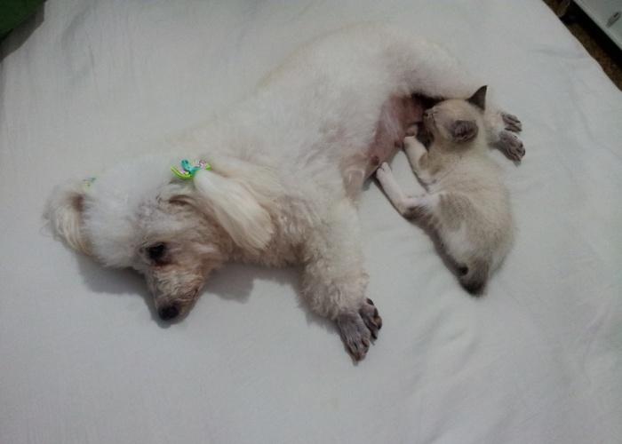 Esta é Perola, amamentando a gatinha Cherry que ela adotou. As duas pertencem a Sérgio Ruy, de Jacupemba (ES).