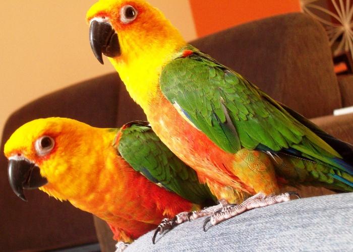 Johnny e Sofya são um casal de jandaias verdadeiras, da Lulu dos Santos.