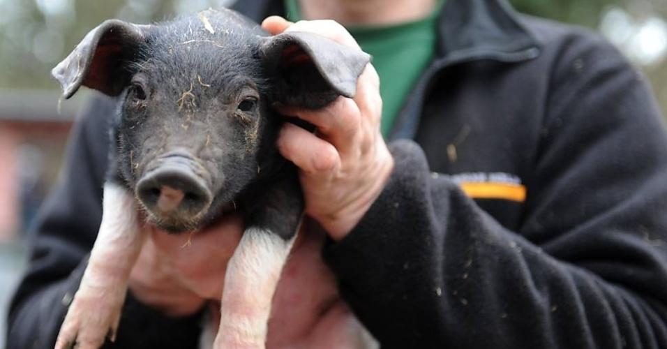 """30.dez.2012 - Tratador do zoológico de Berlim segura um dos porquinhos considerados """"animais oficiais da boa sorte para 2013"""""""