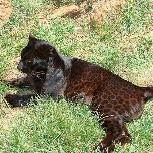1.jan.2013 - Brasileiros desvendam mutação genética que 'transforma' leopardo em pantera-negra