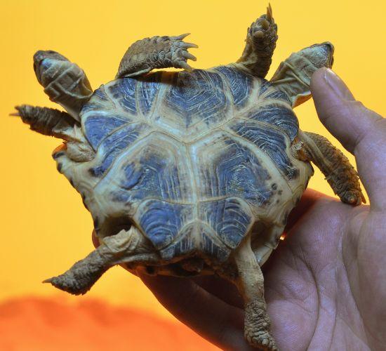 Sexta-feira (24/2) - Funcionário do Museu de História da Ciência segura uma tartaruga de 5 anos com duas cabeças e seis patas, em Kiev, na Ucrânia. O réptil tem o casco em forma de coração, dois corações, mas apenas um intestino