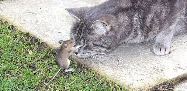 Quinta-feira (15/3) - Um ratinho atrevido, capturado por um gato malvado, fica de pé, dá-lhe uns sopapos, e depois foge. Isso te lembra alguma coisa? Para a inglesa Stephanie Evans, 41, lembra - e muito - a dupla do desenho animado Tom e Jerry. Ela conta que presenciou a cena quando olhou pela janela e viu seu gato de 1 ano e meio levando uns sopapos de um ratinho que ele capturou. Ela não perdeu tempo e registrou o momento com uma foto.