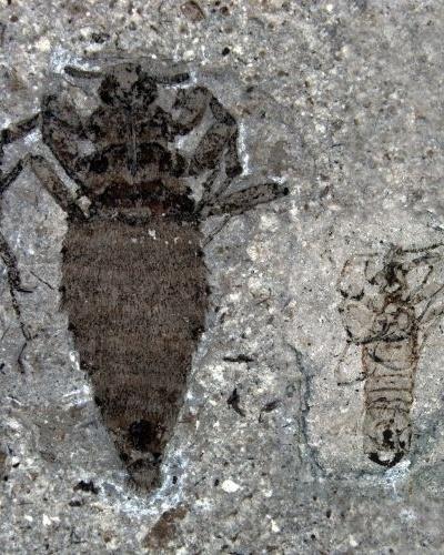 Dinossauros gigantes eram atormentados por pulgas sugadoras de sangue de até dois centímetros de comprimento (29/2/12)