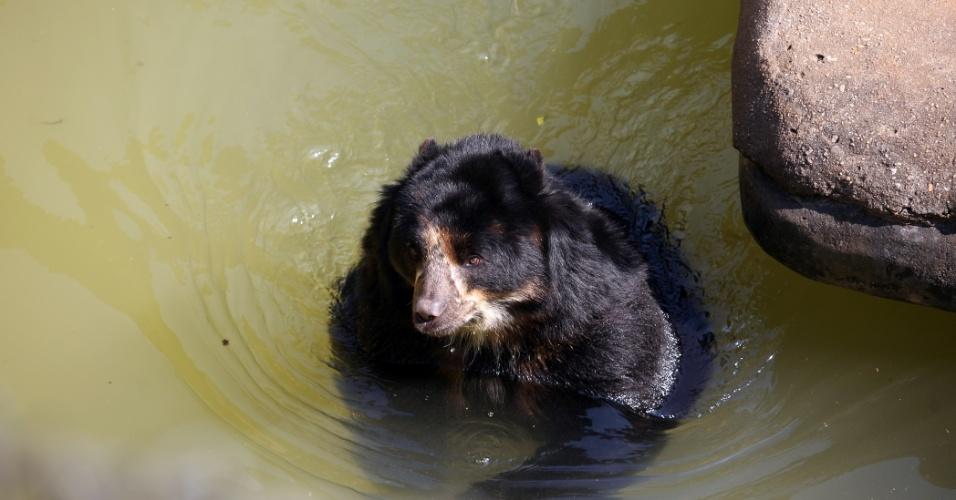 Carismático, o urso-de-óculos foi um dos primeiros animais visitados pela reportagem. Único urso que habita a América do Sul, a espécie é considerada vulnerável à extinção e sofre com a caça ilegal. No zoo, o urso Bob, que aproveitou o calor da tarde para se refrescar em um 'laguinho', faz companhia ao irmão Marley, que por ser mais tímido, ficou de costas na hora da fotografia.