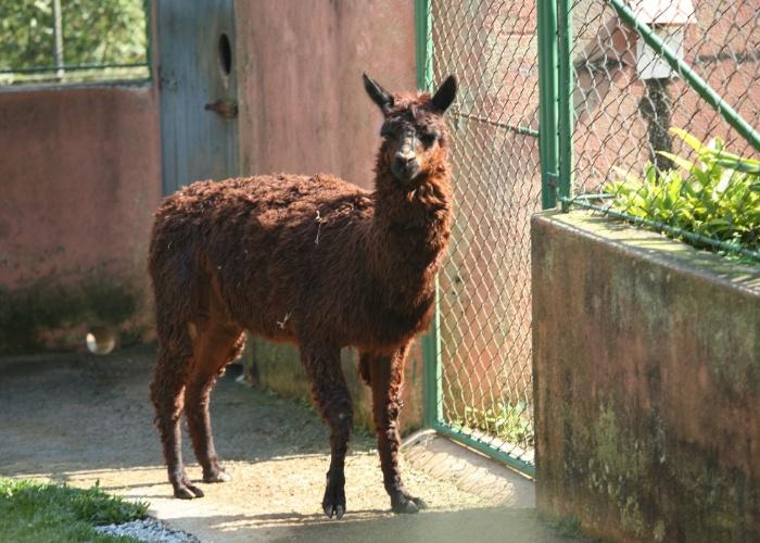 Pita é constantemente confundido com um lhama, mas o bicho é uma alpaca, uma espécie de 'parente' do famoso animal peruano. Ele pesa aproximadamente 65 quilos e pode viver até 28 anos.