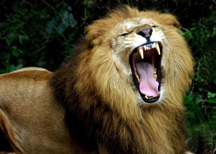Rei da selva, o leão é o animal mais popular do parque.