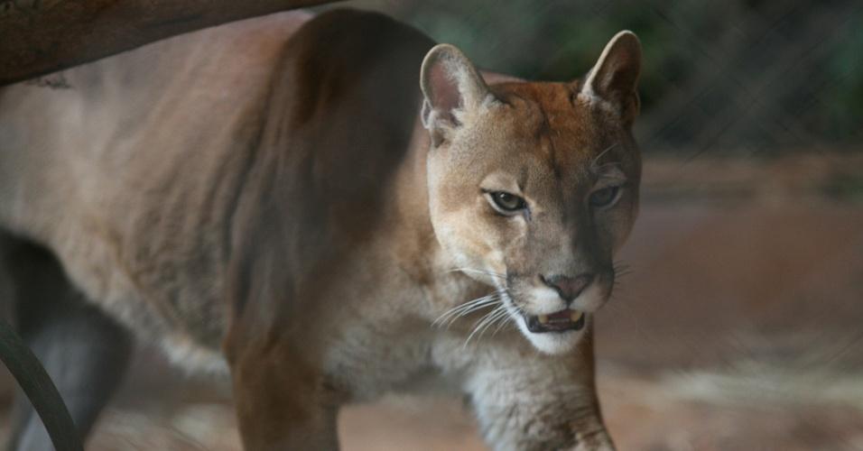 A onça-parda Kit se exibe em sua jaula. Também conhecida como suçuarana, o felino é um dos maiores predatores naturais do Brasil.
