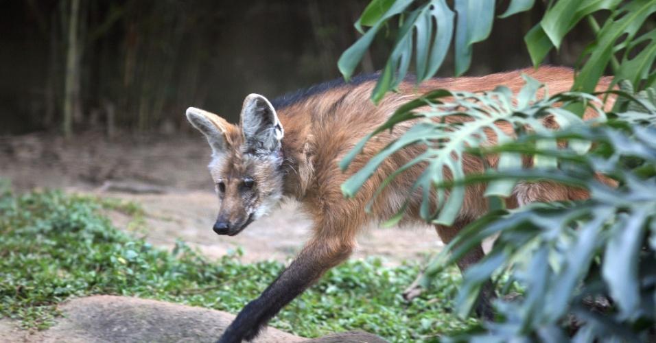 Ameaçado de extinção, o lobo-guará é um dos mais famosos animais do Brasil. Ele costuma viver solitário e é um animal considerado tímido, evitando o máximo possível o contato com o ser humano. A principal causa de sua extinção é o desmatamento do cerrado para plantações de soja e pastos de gados.