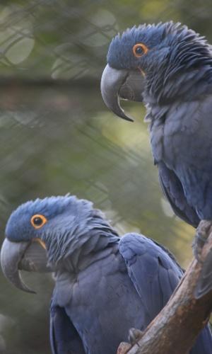 Araras-azuis estão entre as espécies de araras catalogadas no zoológico de São Paulo.