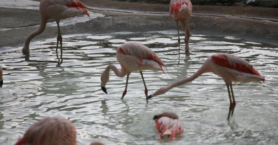 É possível encontrar diversos flamingos entre as aves que habitam os lagos do zoológico de São Paulo.