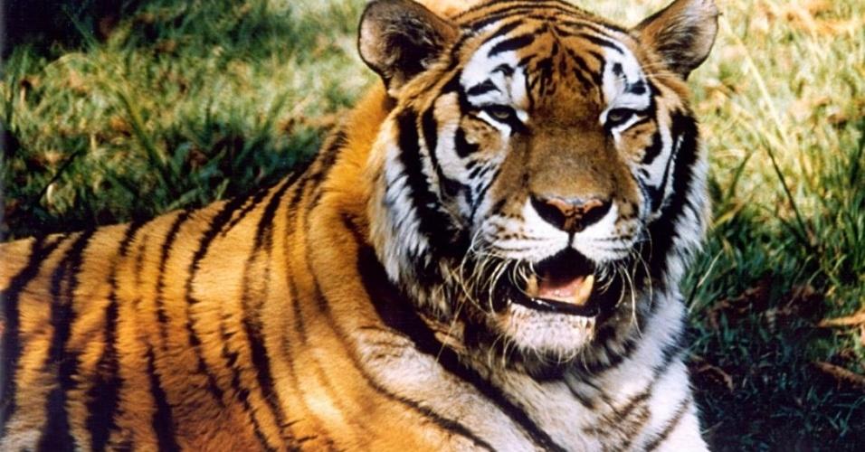 Maior felino do mundo, o tigre-siberiano é um dos animais mais majestosos do zoológico de São Paulo. Na imagem, oferecida pelo zoo, aparece o animal que está alojado na fundação. No dia da reportagem, a equipe não conseguiu fotografar o bicho, que estava em período de recolhimento.