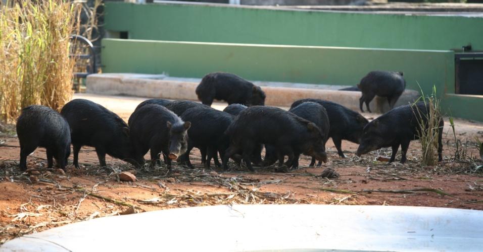 Mais comum no Pantanal, as queixadas são uma espécie de porco-selvagem. Eles costumam viver em bandos, que podem agrupar dezenas de animais.