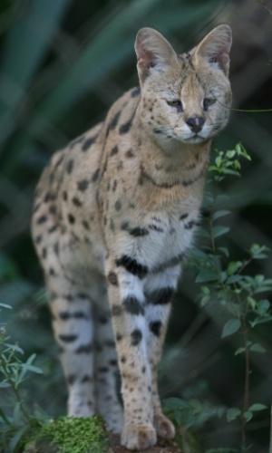 Não se engane pela aparência fofinha deste felino. O serval é um felino de porte pequeno que impõe respeito nas savanas africanas. A espécie pode viver aproximadamente 19 anos.