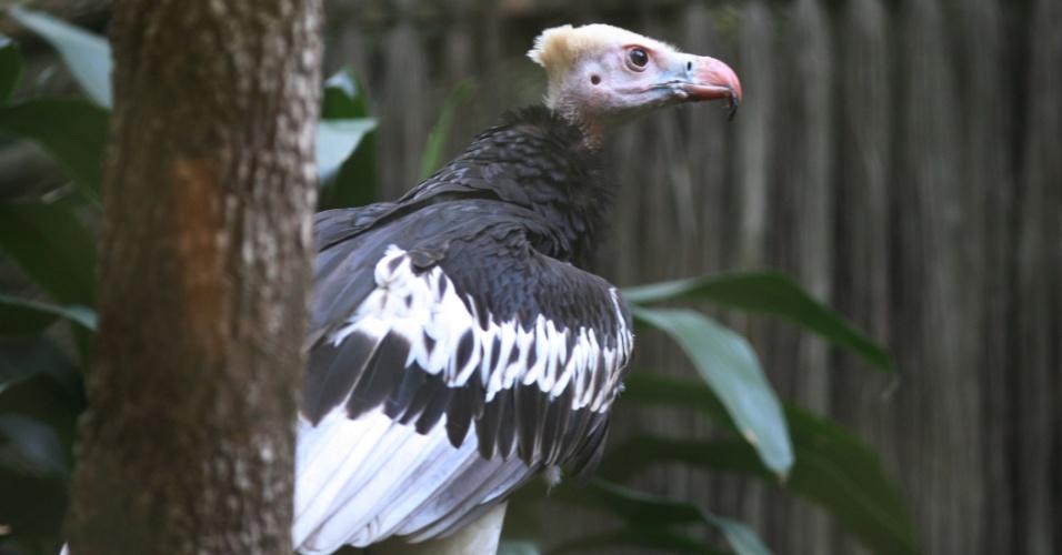 O abutre da cabeça branca é uma das raras espécies de aves carnívoras que habitam a savana do continente africano.