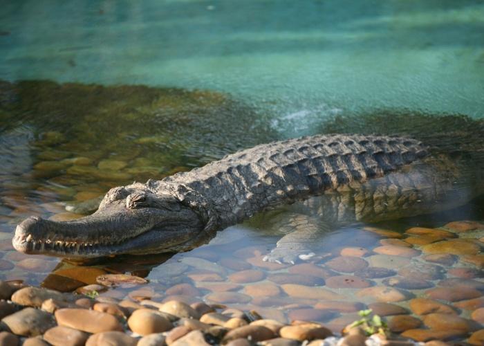 O gavial-da-malásia é parece um jacaré, mas ele é da famíla dos crocodilos. O animal é um réptil que vive em lagos, pântanos e rios da Malásia e da Indonésia e pode viver por cerca de 50 anos.