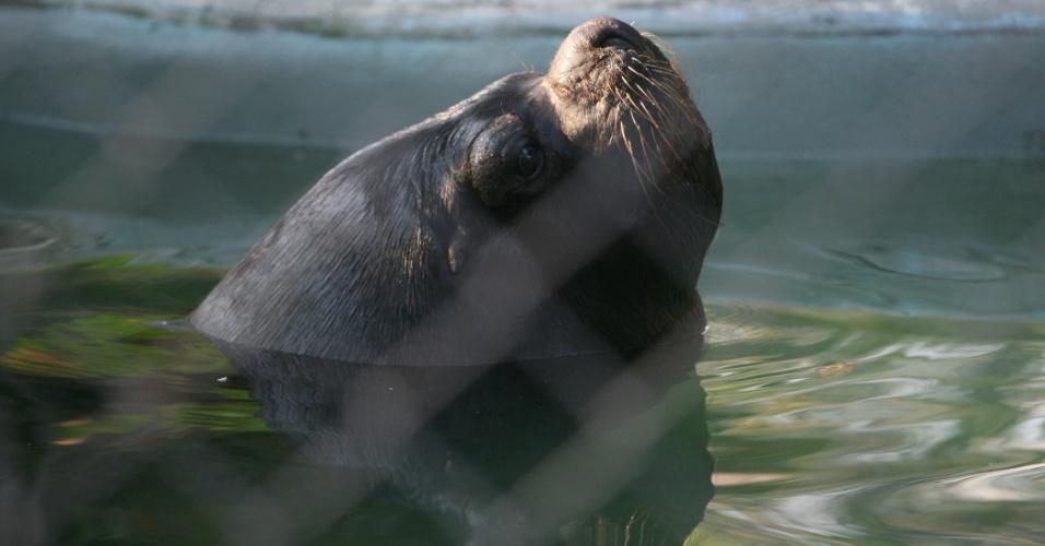 O leão marinho gostou tanto de mergulhar em sua piscina que não se deu ao trabalho de sair da água para a foto. Animais carismáticos e inteligentes, os leões marinhos podem ser encontrados desde o litoral sul do Brasil, Uruguai, Argentina e Chile, até as praias rochosas do Peru.