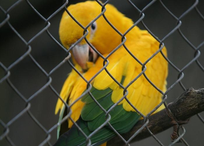 O nome em tupi entrega Ararajuba significa 'arara-amarela'. Ela é uma das aves que mais representam a fauna brasileira. A ave habita a região do Pará e Maranhão e sua coloração alude as cores da bandeira do Brasil.