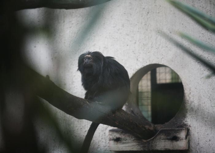 Os micos-leões-pretos já foram considerados extintos no início do século 20 e sua 'extinção' foi uma das causas que motivaram um maior interesse pela preservação das espécies brasileira. Na década de 50, foram encontradas espécies que habitavam o interior do Estado de São Paulo.
