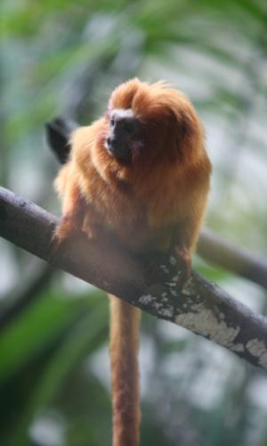 Tipicamente brasileiro, o mico-leão-de-cara-dourada vive apenas em uma área muito pequena do interior da Bahia, por isso, sua espécie corre sério risco de extinção. Infelizmente, é um dos animais que mais sofrem com o tráfico internacional de espécies silvestres.
