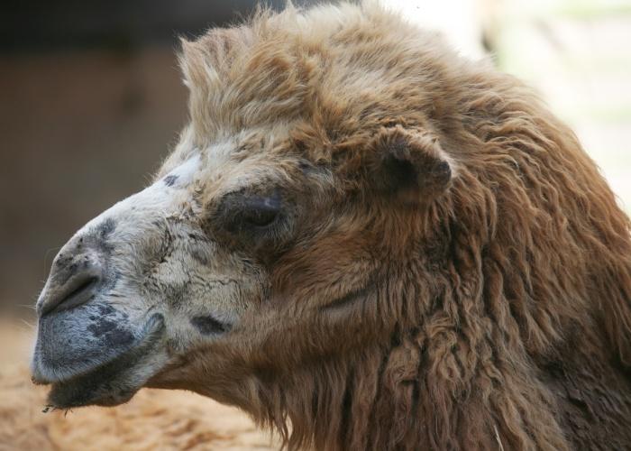 Um dos animais mais velhos do zoológico é a camela Rosângela. Os camelos são animais nativos das áreas desérticas e secas da Ásia e podem viver até 50 anos.
