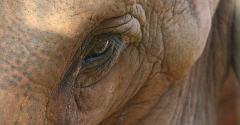 Uma das mais recentes moradoras do zoológico de São Paulo, a elefanta indiana Hangun estava passando dificuldades em um zoo de Salete (SC).