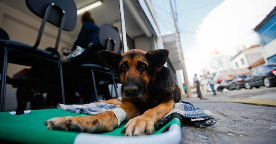 A cachorra Lessie, que está com tumor no fígado, aguarda atendimento no primeiro hospital gratuito para animais.