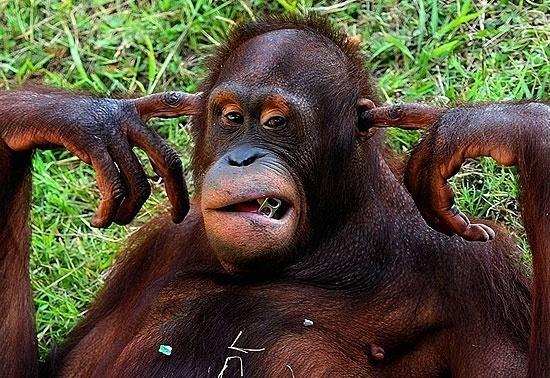 5.dez.2012 - Um orangotango cansou de ouvir os visitantes chamarem por seu nome e aprendeu a tapar os ouvidos. A cena foi vista pelo fotógrafo Robertus Pudyanto, no zoológico de Surabaya, na Indonésia.
