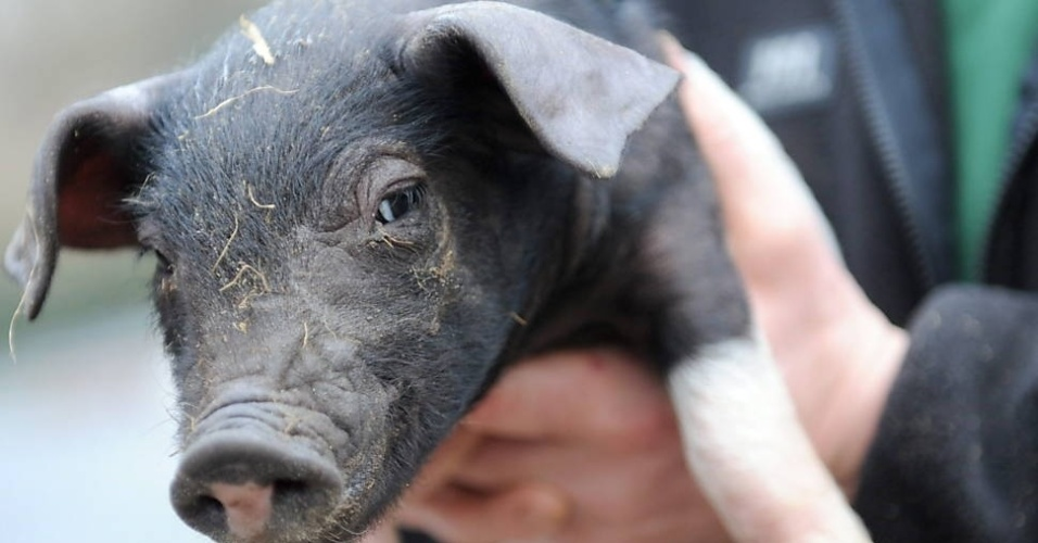 """30.dez.2012 - Os porquinhos foram declarados pelo zoológico Tierpark os """"animais oficiais da boa sorte para 2013"""""""