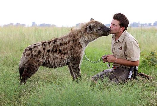 Segunda-feira (6/2) - O jovem Shandor Larenty, de 16 anos, tem um bichinho de estimação bem incomum. O garoto é dono de Themba, uma hiena de 16 meses de idade que age com o dono como um gatinho. Themba gosta tanto do menino que deixa até ele fazer coceguinhas em sua barriga. Larenty vive na África do Sul com seu pai, que é treinador de leões. Isso explica a falta de medo do jovem com animais selvagens.