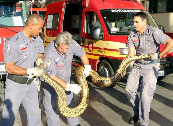 Terça-feira (7/2) - Soldados do Corpo de Bombeiros de São Carlos (SP) seguram sucuri de 3,5 metros encontrada em um condomínio de chácaras.