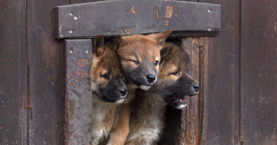 Cachorros dingo
