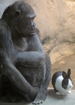 Quarta-feira (14/3) - A gorila Samantha, 47, do zoológico de Erie, na Estado da Pensilvânia, nos Estados Unidos, elegeu como seu melhor amigo o coelho holandês que tem o nome de Panda. A diretora do zoológico, Cindy Kreider, acha que, se eles dividem o mesmo espaço e interagem, é algo benéfico. Segundo ela, eles também dividem comida.