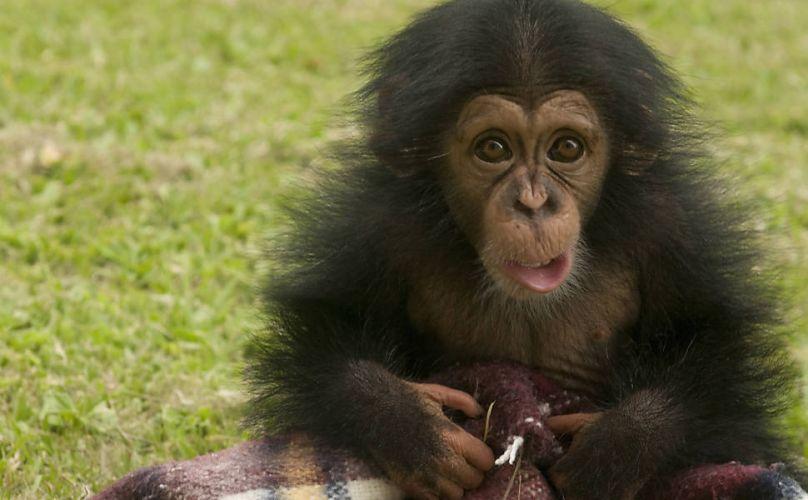 Sexta-feira (27/1) -Um sítio em Sorocaba (SP) cuida de chimpanzés que sofreram maus-tratos. Na imagem, Susy, de 7 meses, é a caçula dos bebês chimpanzé nascidos no Santuário.
